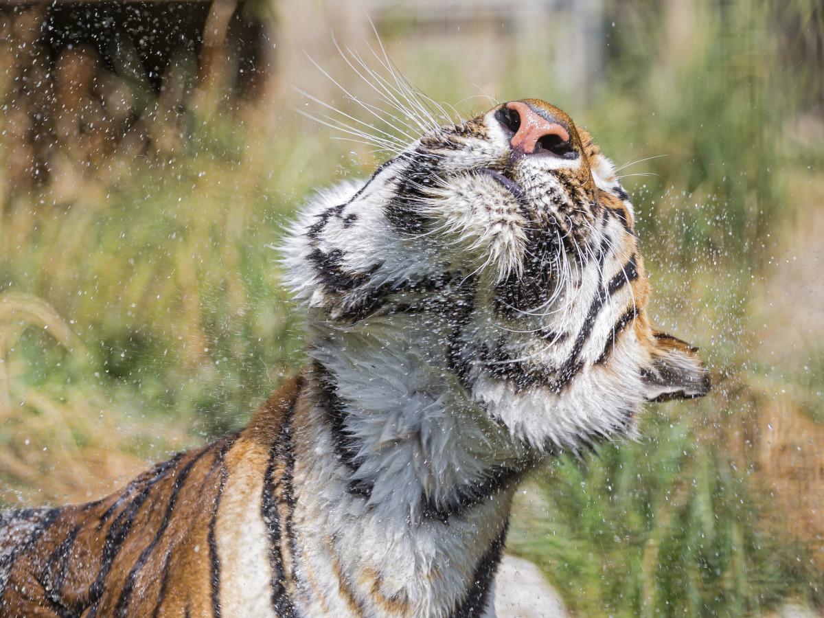 Tiger shaking off water after a swim at Raubtierpark Subingen in Switzerland