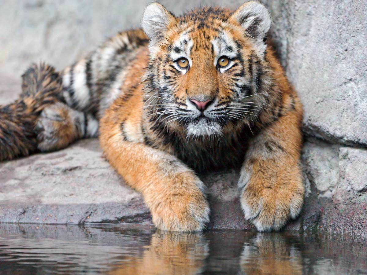 Tiger cub Luva