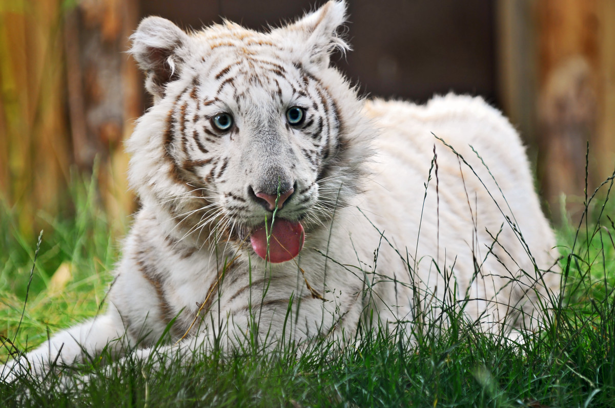 White tiger cub at the Amnéville Zoo in France