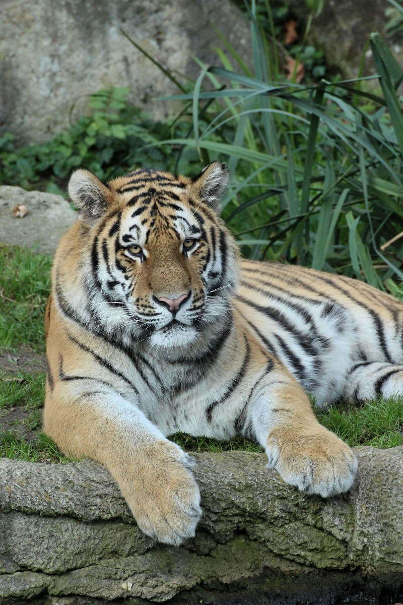 Young Siberian tiger
