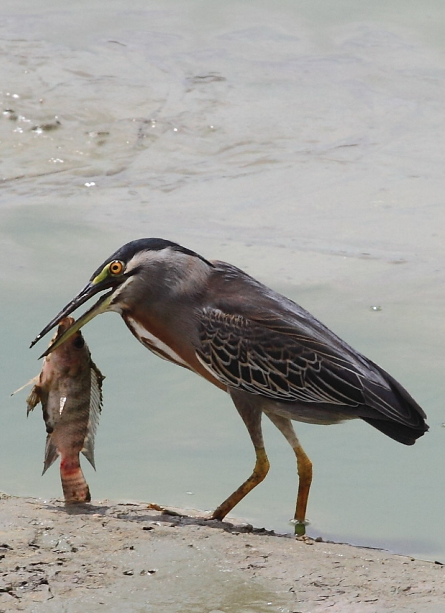 Striated Heron (Butorides striata) with large tilapia