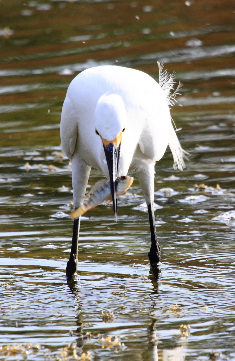 Snowy Egret (Egretta thula) catching a fish