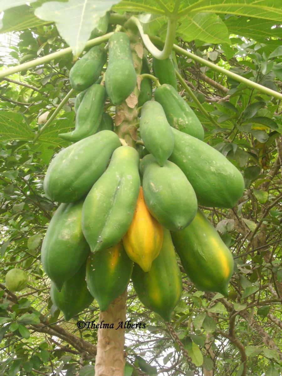 Papaya tree in my garden.