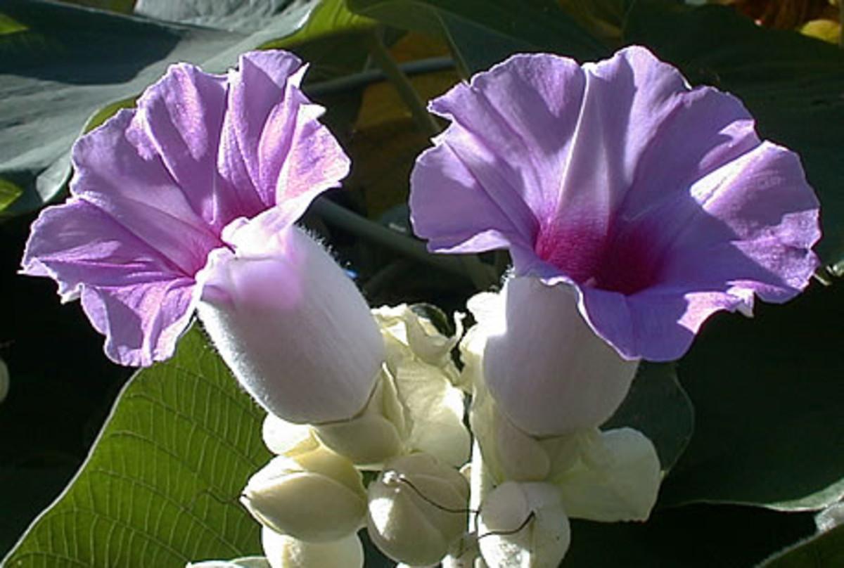 Psychedelic Plant-Hawaiian Baby Woodrose