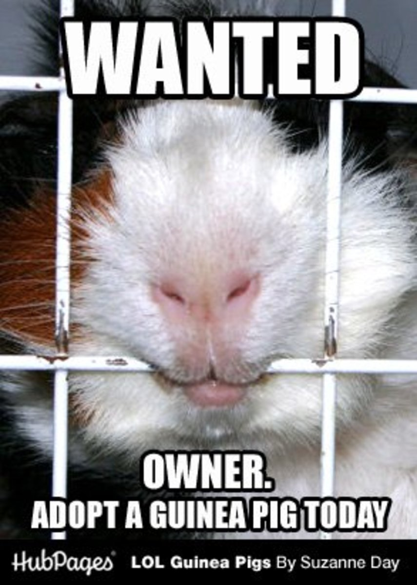 Homeless guinea pigs are often taken in by guinea pig shelters.