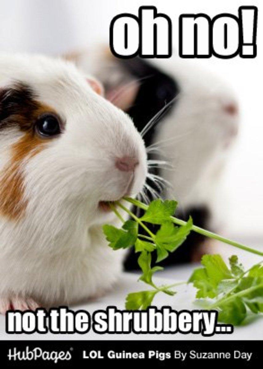 Funny Guinea Pig Photos & Cavy Memes - LOL Guinea Pigs (lolguineapigs)