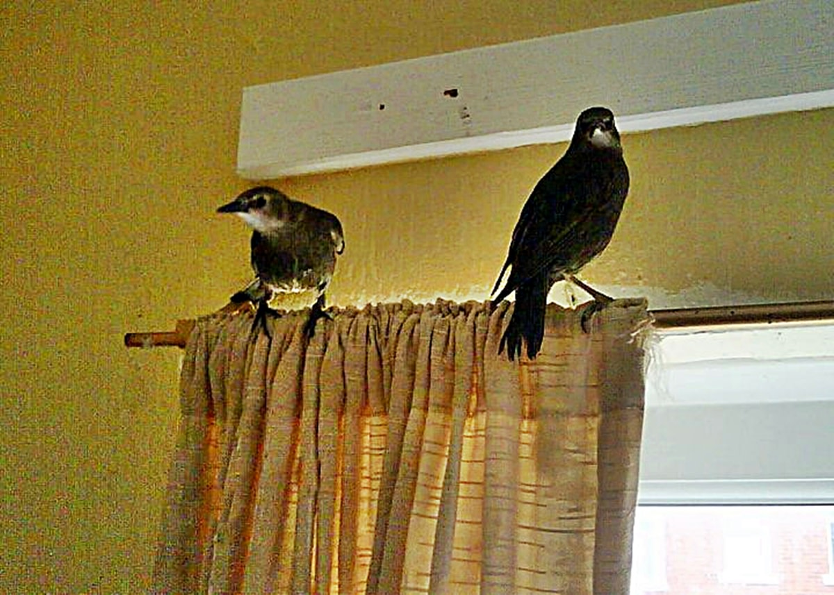 Tweety and Chirpy perching on top of the curtain rail to evade capture.
