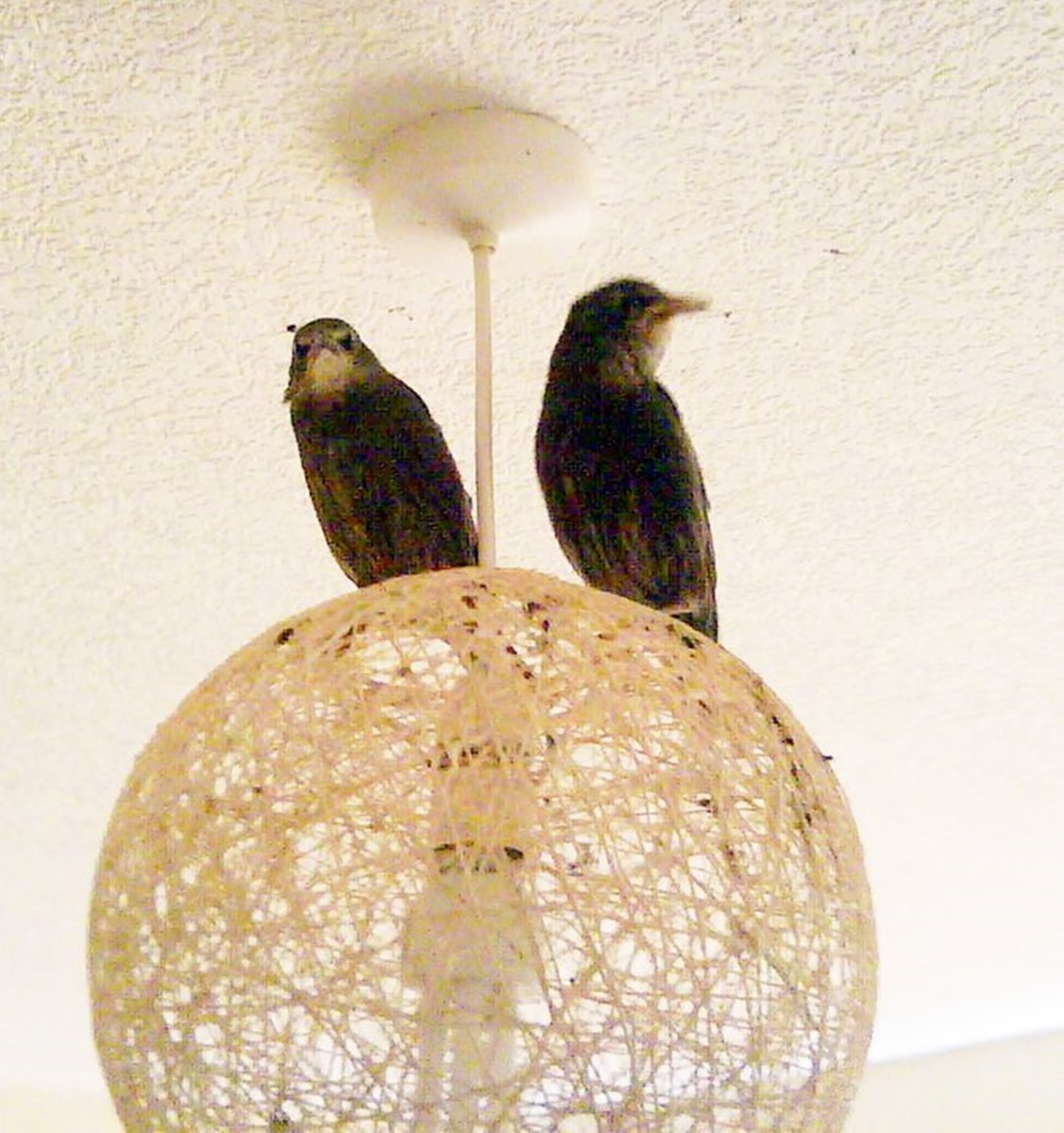 Tweety and Chirpy were very adventurous when they learned how to fly. They took to sitting on the bedroom light and often wouldn't come down except to feed,