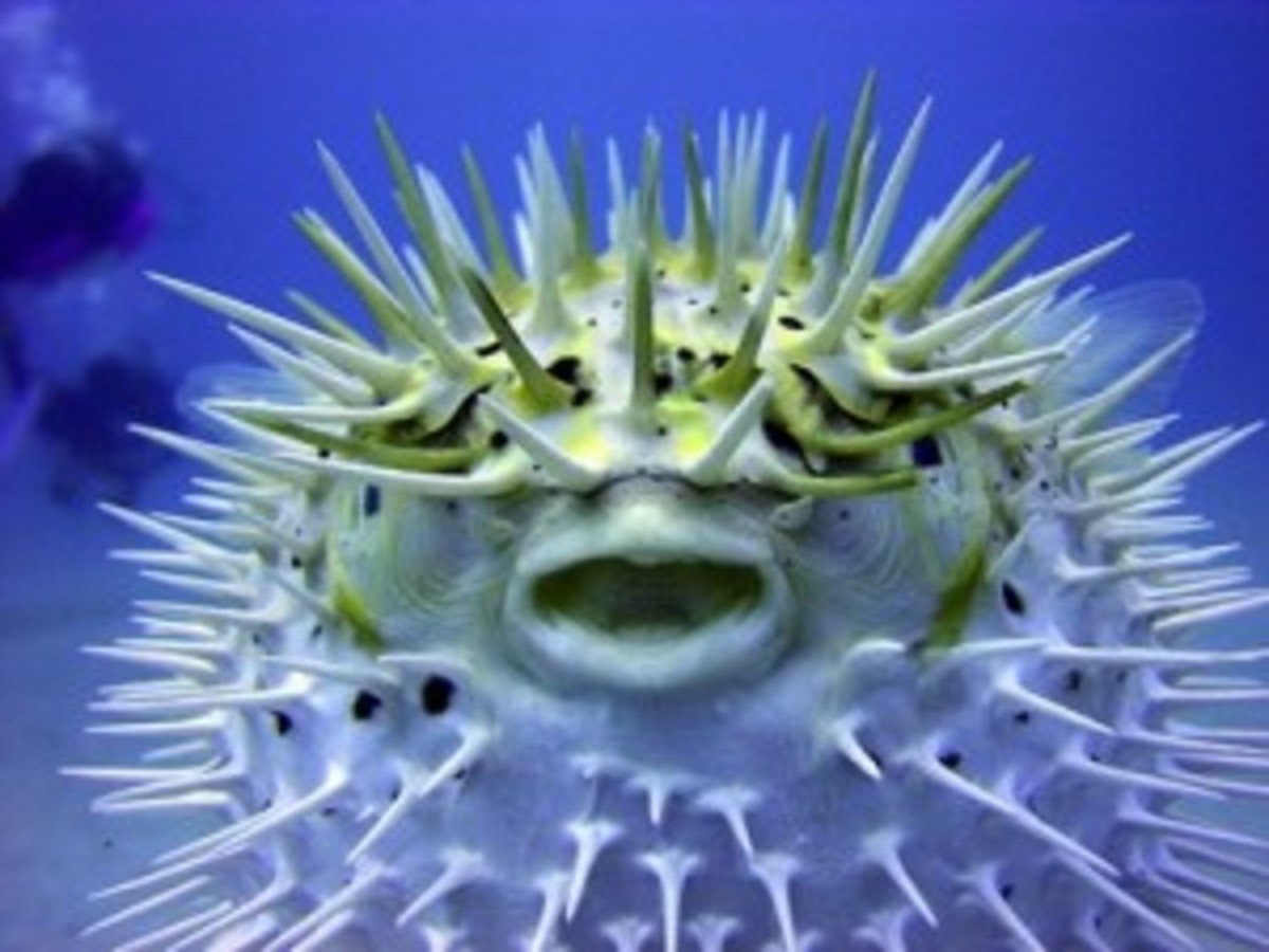 Poisonous puffer fish contains deadly neurotoxin tetrodotoxin; consumed by zombie victims.