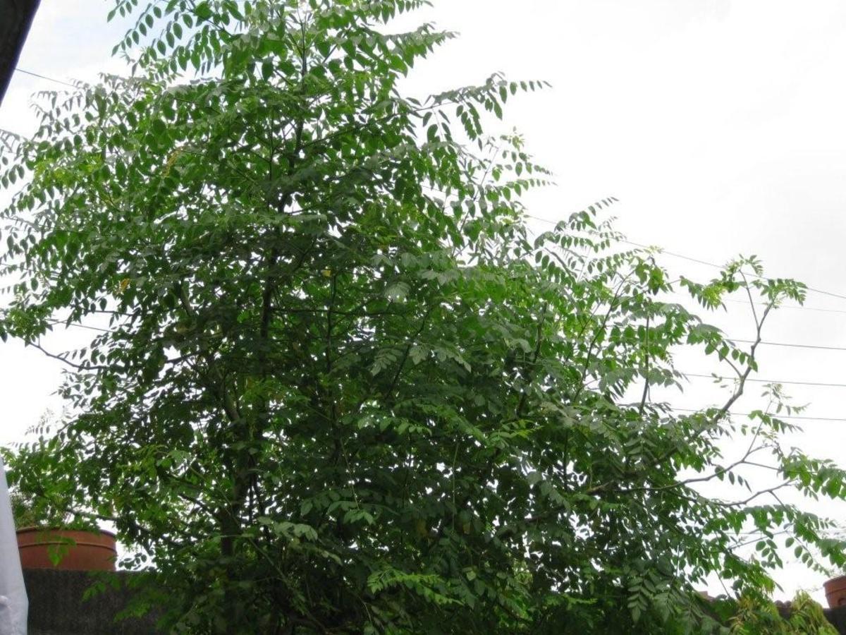 Moringa Tree: Health Benefit of Moringa Tree, Moringa Leaves