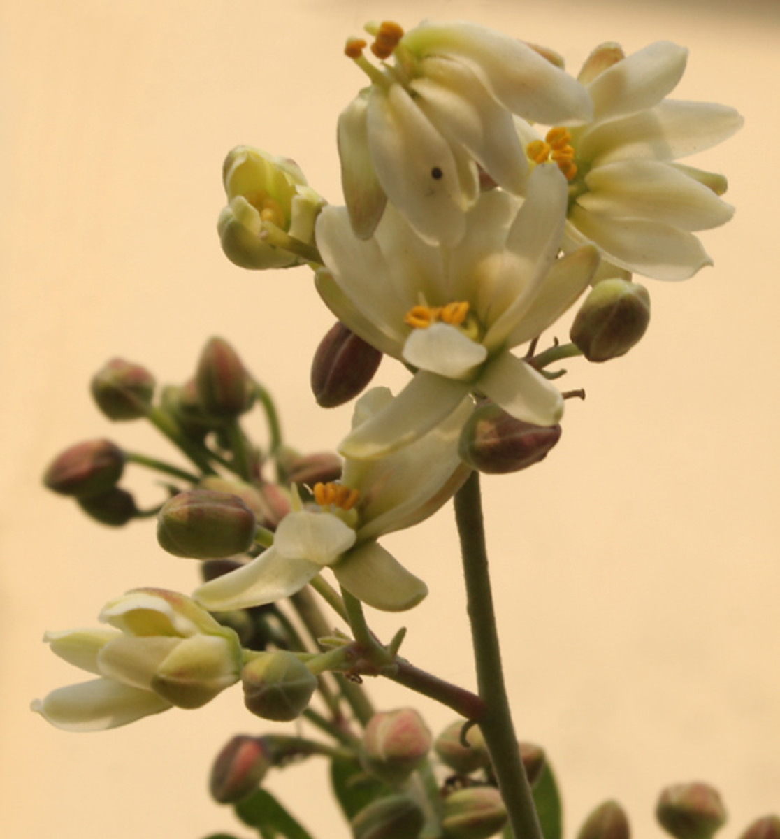 benefits of moringa seeds pdf