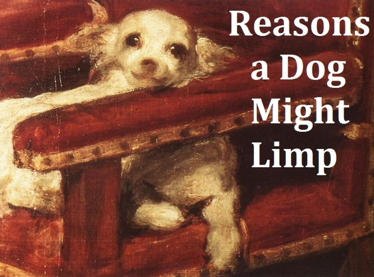 Here are the common reasons that  a dog may be limping.