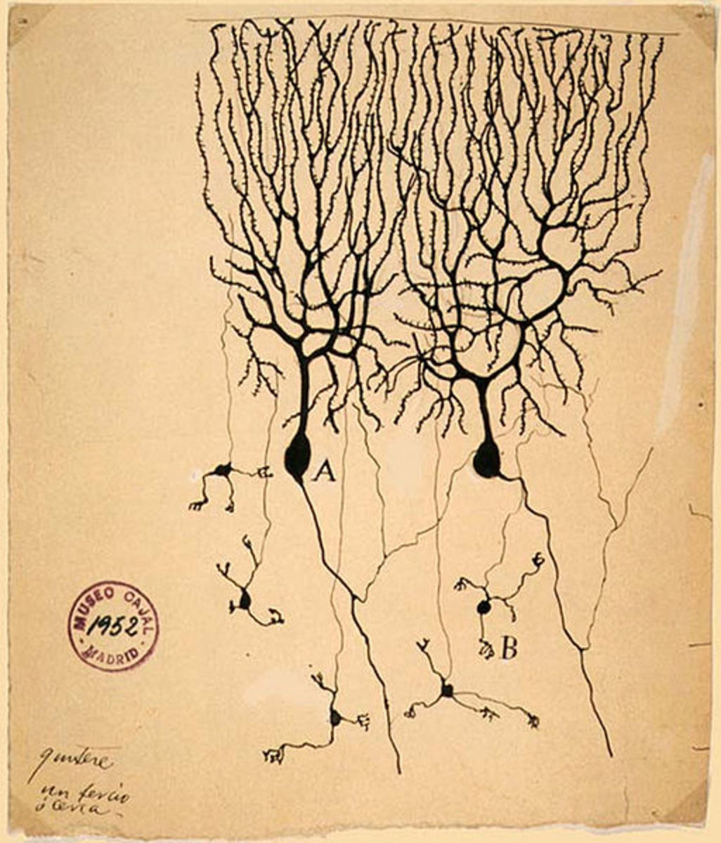 Drawing of Purkinje cells (A) and granule cells (B) from pigeon cerebellum by Santiago Ramón y Cajal, 1899; Instituto Cajal, Madrid, Spain.