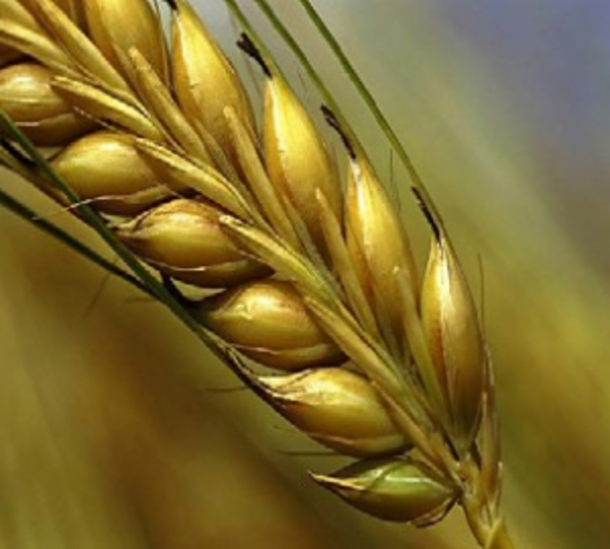 Wheat Grain Ear