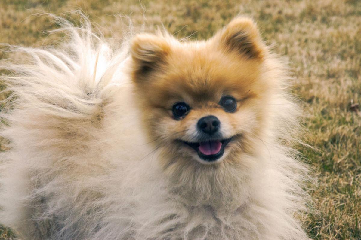 The Pomeranian half parent to Husky Pomeranian mix.