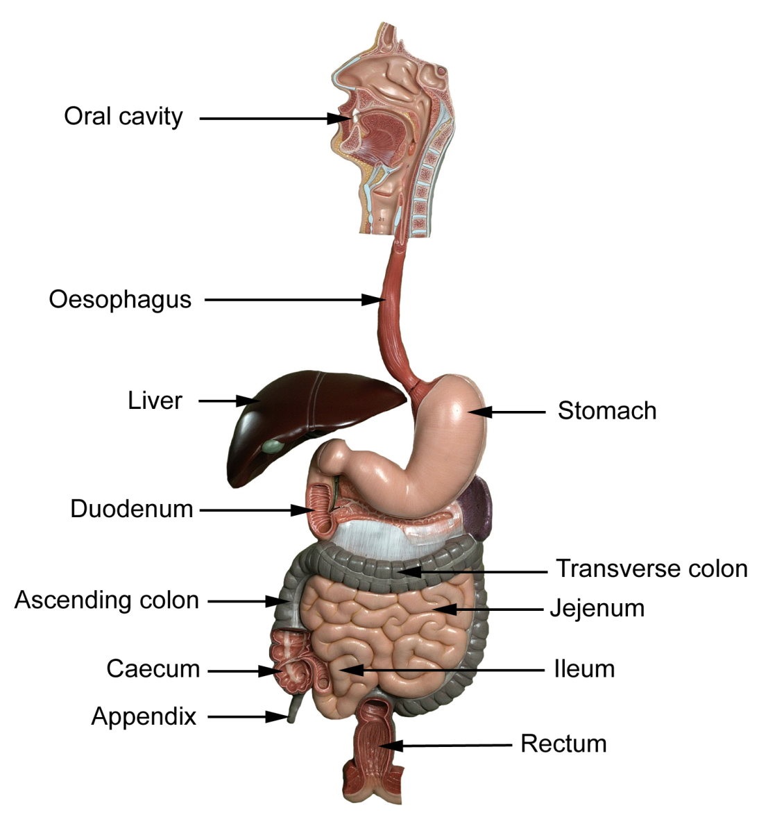 The alimentary tract!