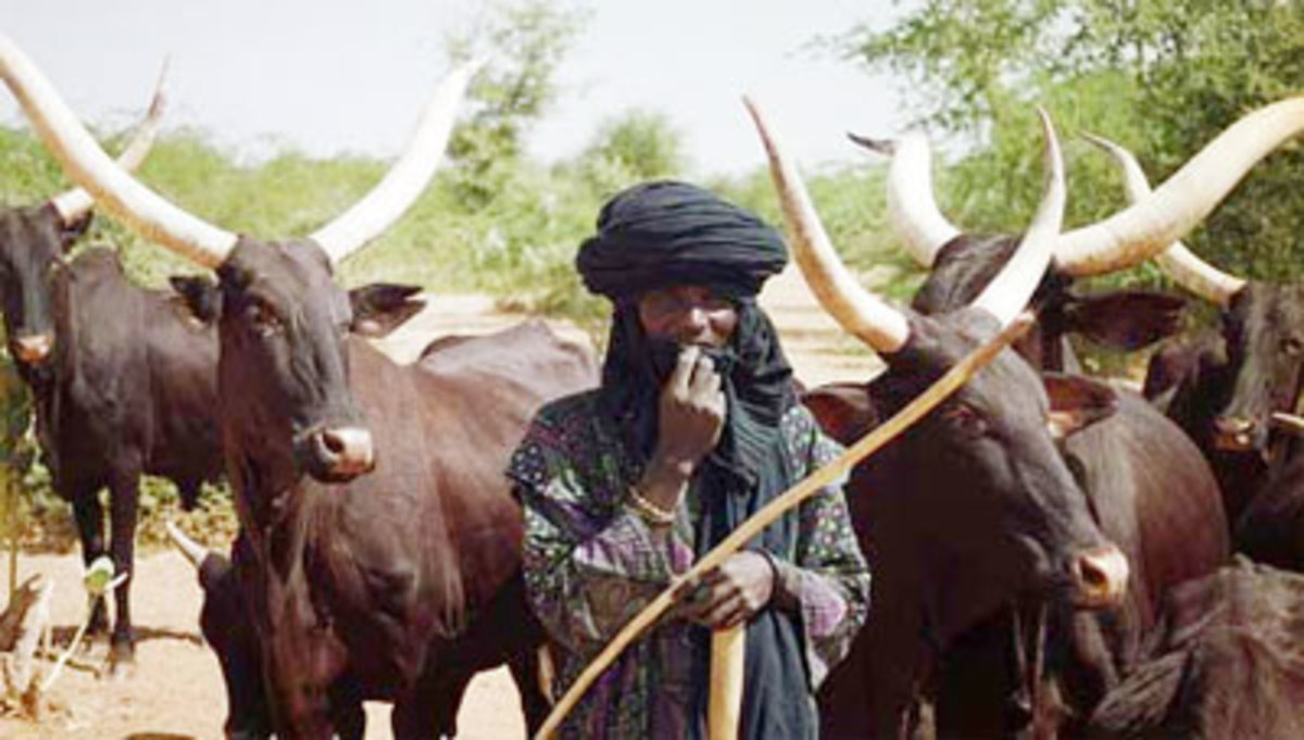 A Fulani herdsman cattle is exchanged as dowry