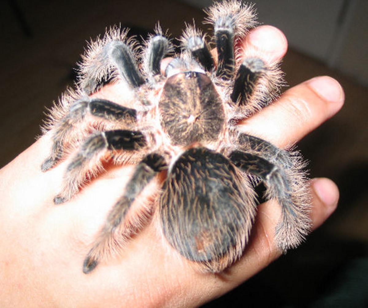 Adult Curly Hair tarantula