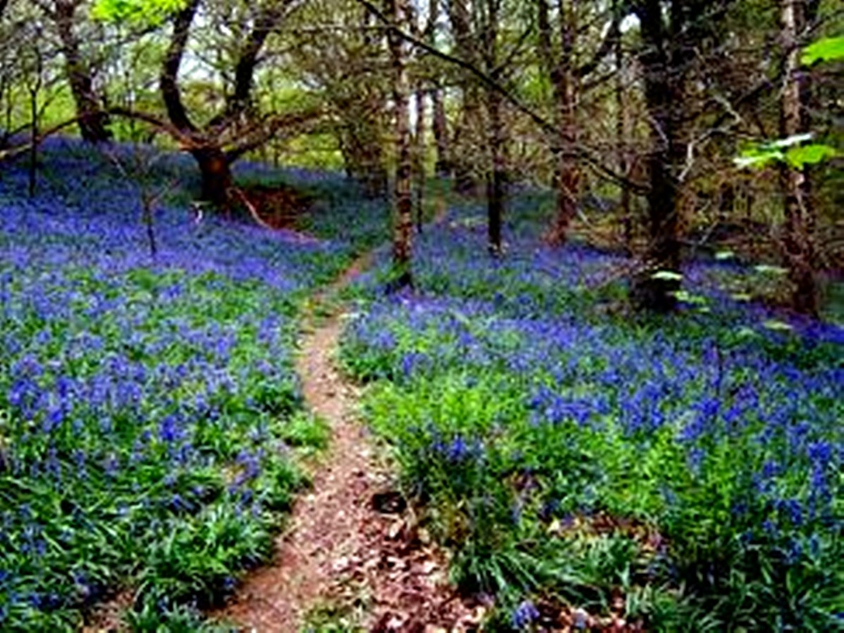 The stunning bluebells at Middleton Woods.
