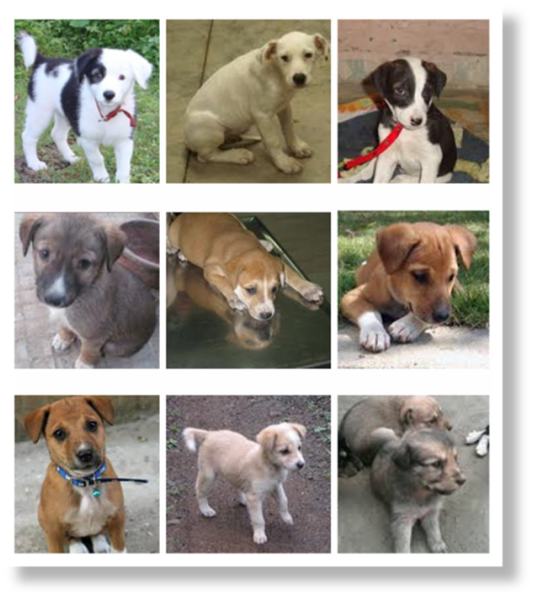 Pariah Puppies, advertised online for Adoption.