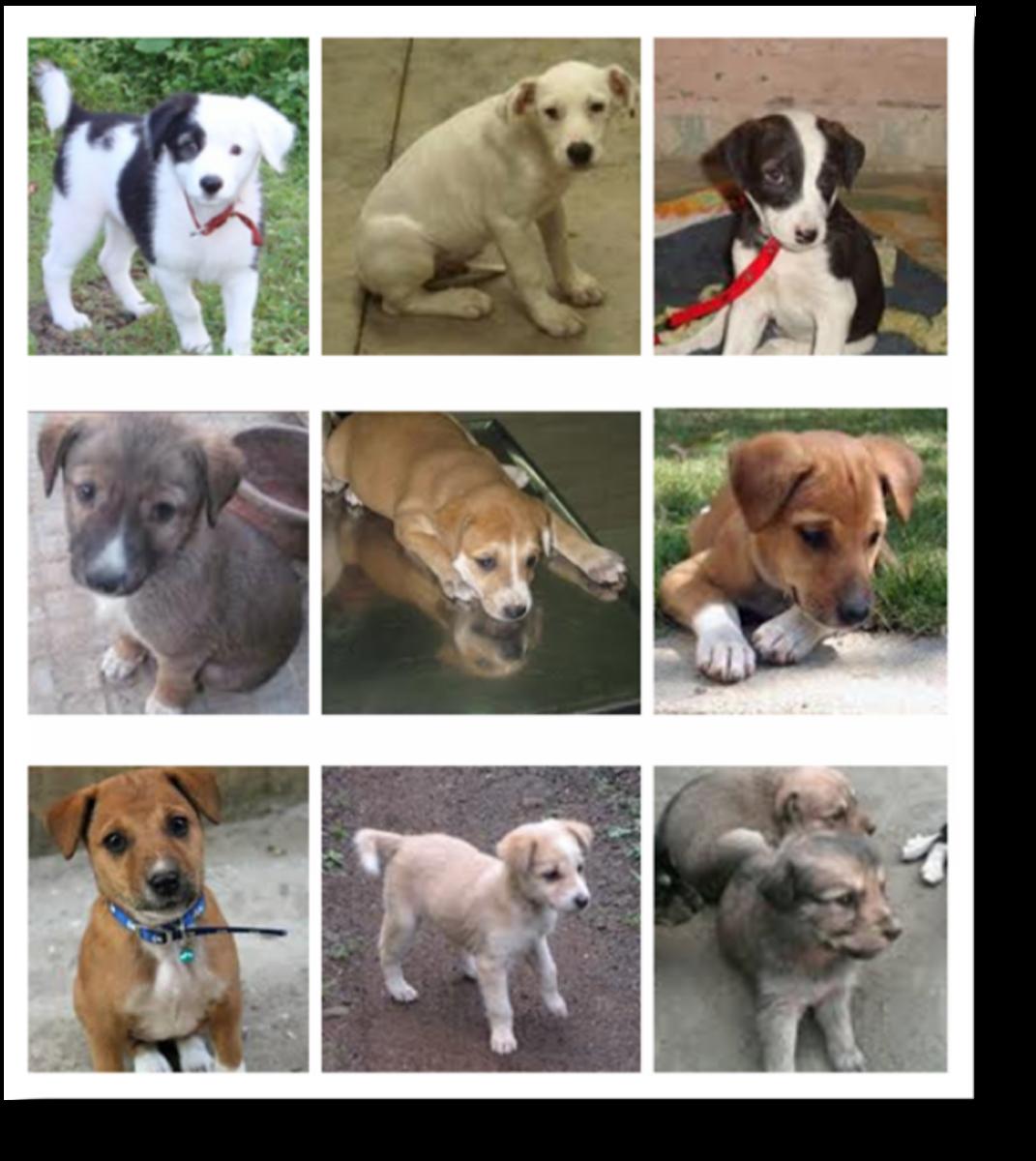 Indian Desi Pariah Puppies (Advertised Online To Adoption)