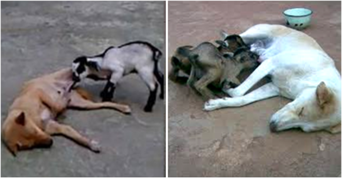 Pariah Dog Feeding Baby Goat