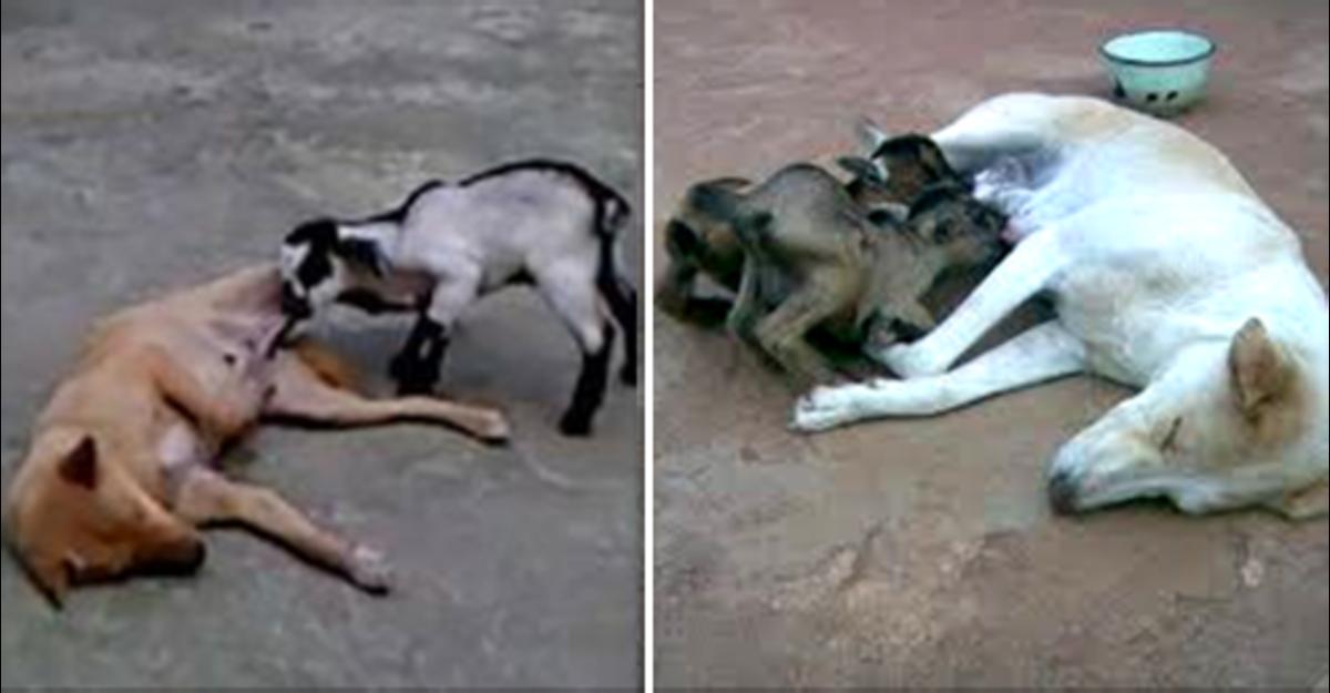 Indian Desi Pariah Dog