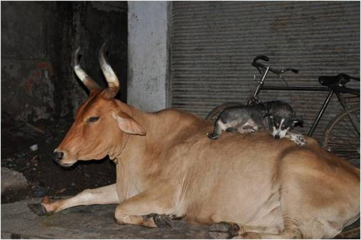 A funny Deshi dog relaxing with his cow friend, probably enjoying the light music.