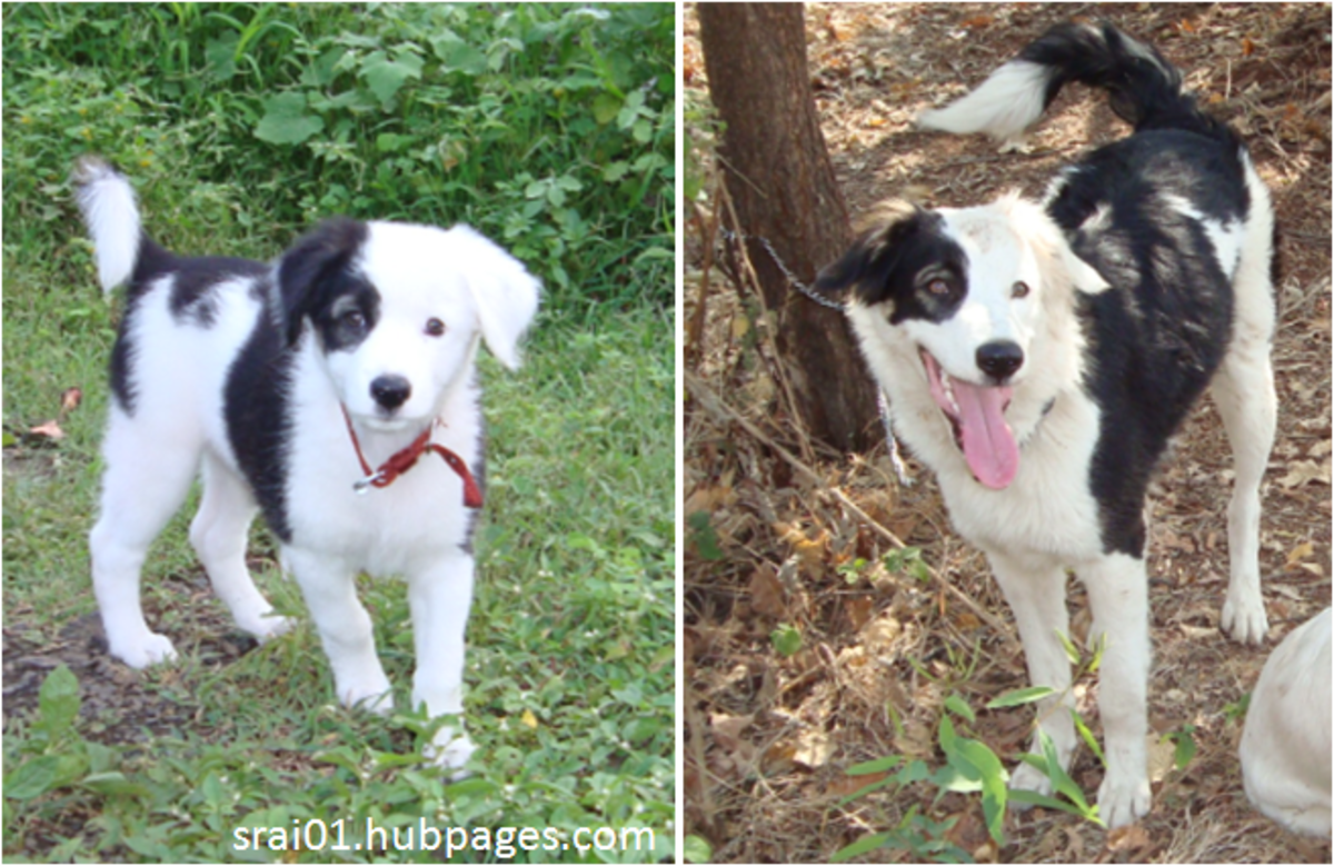 Black and white spotted Pariah dog [@ 2 months and 6 Months old]