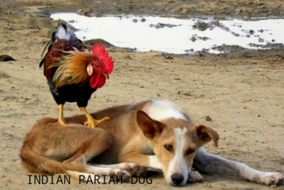 Indian Desi Dog, Pariah Dog or Indog