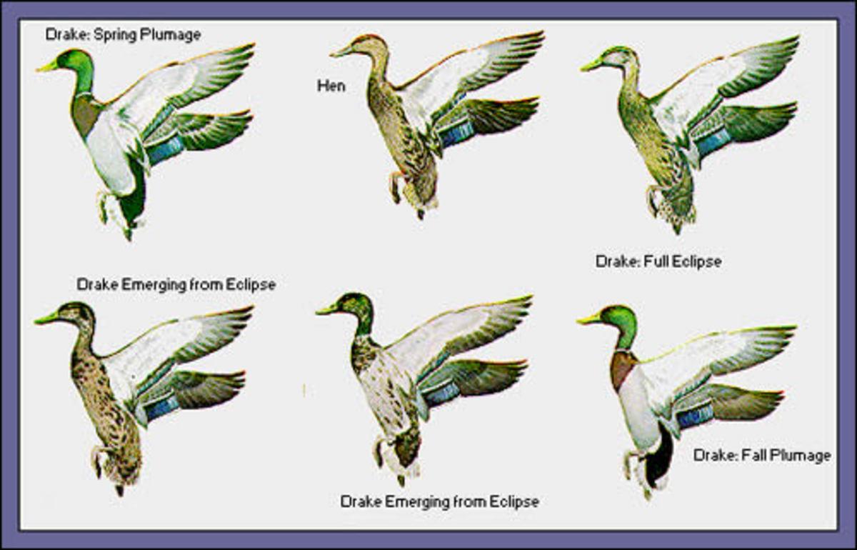 Drake Spring Plumage