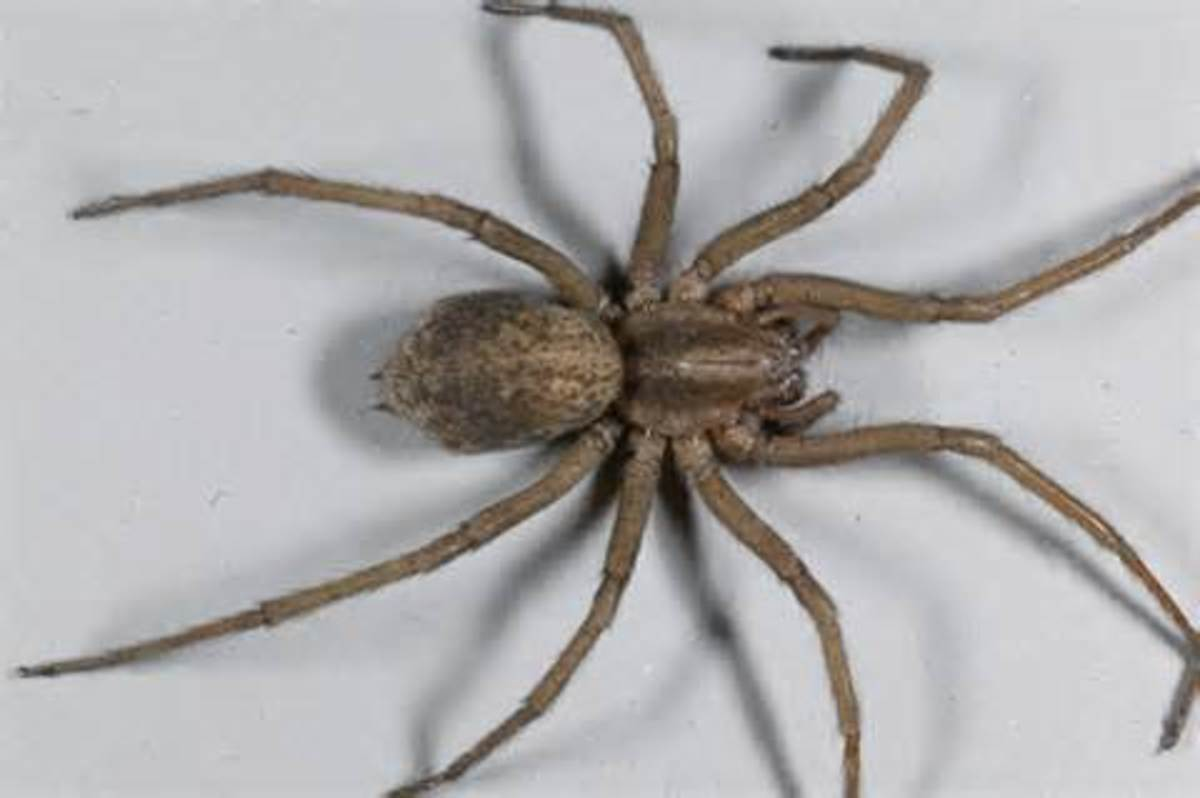 The Hobo Spider