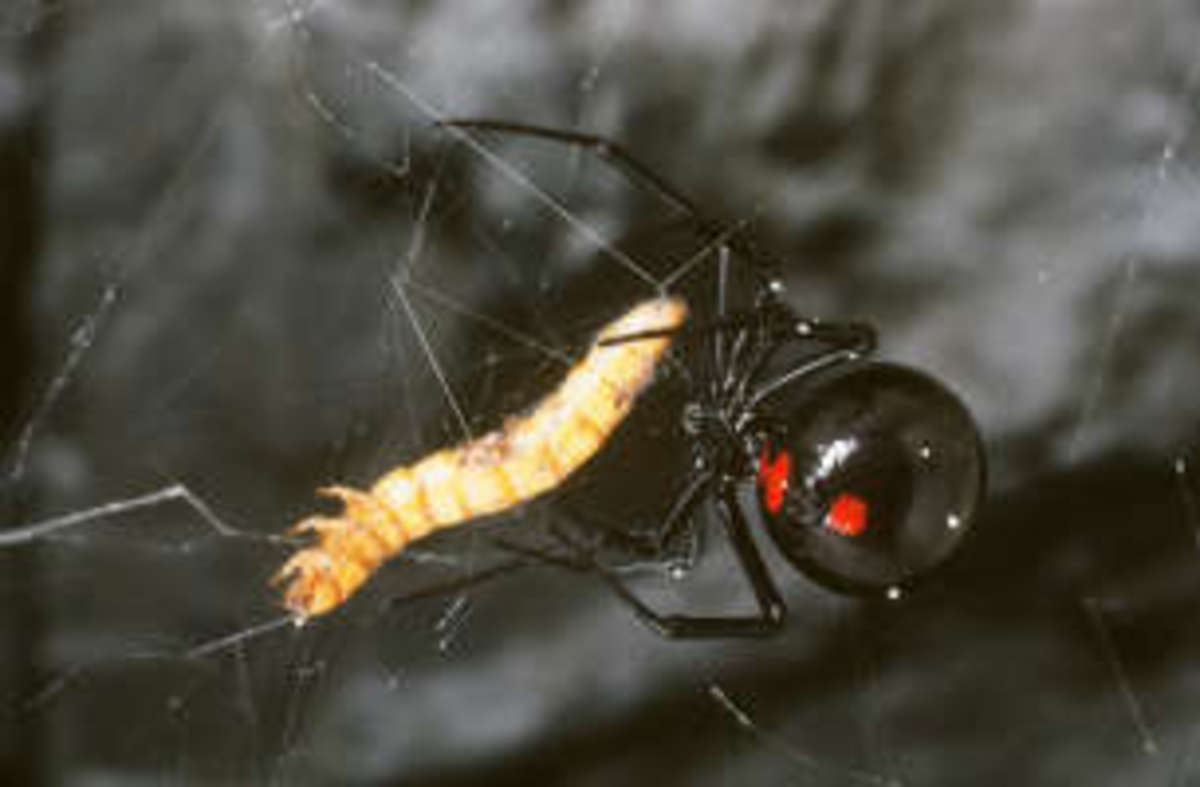 Most Venomous Spiders and Insects in North America - Most Poisonous Spiders