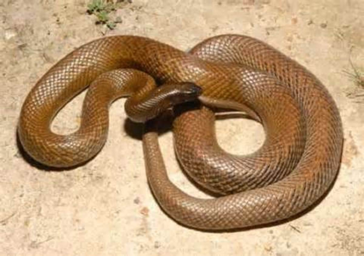 Most Venomous Snakes in the World -  Most Dangerous Snakes in the World