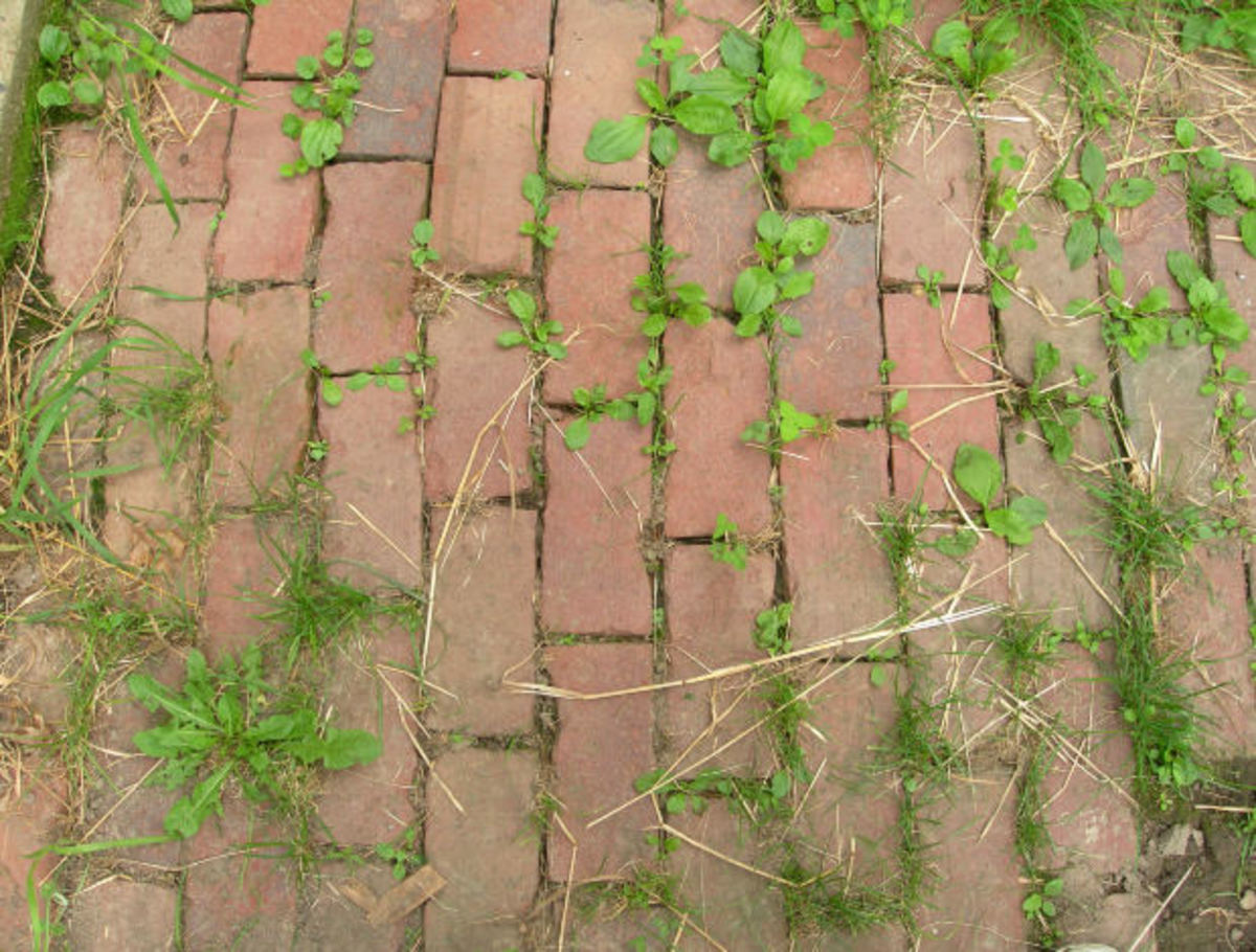 The plantain growing between these bricks is just at the right stage to pick for eating.