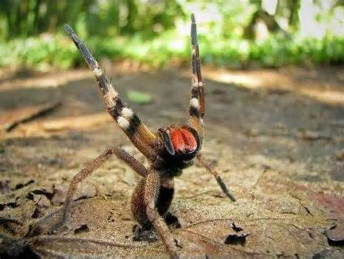 Brazilian Wandering Spider in its defense position