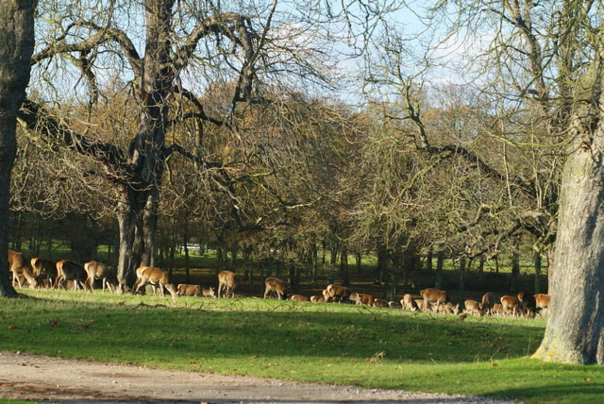 Deer grazing on the edge of the woods at Windsor's Great Park