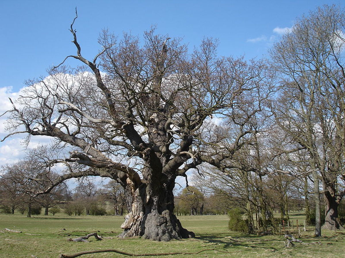 Ancient Oak in Windsor Great Park (once part of Windsor Forest), by Malcolm Gould