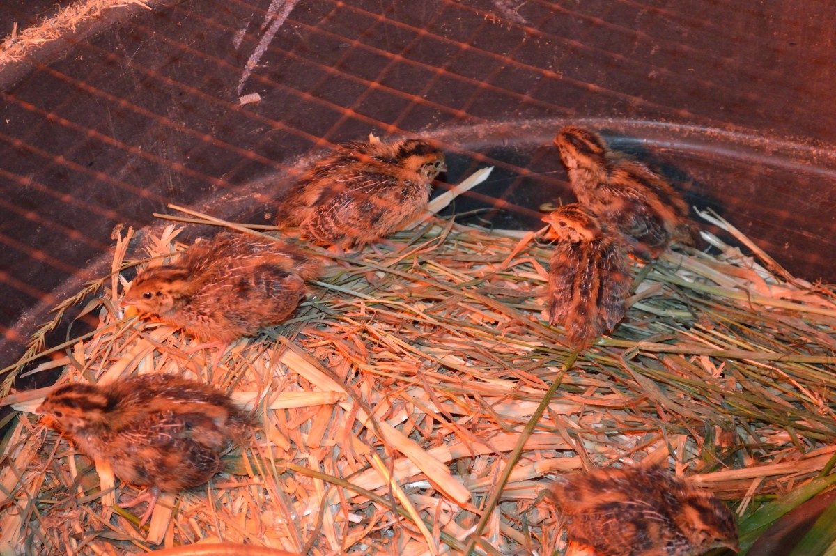 How to Raise Quail on an Urban Farm
