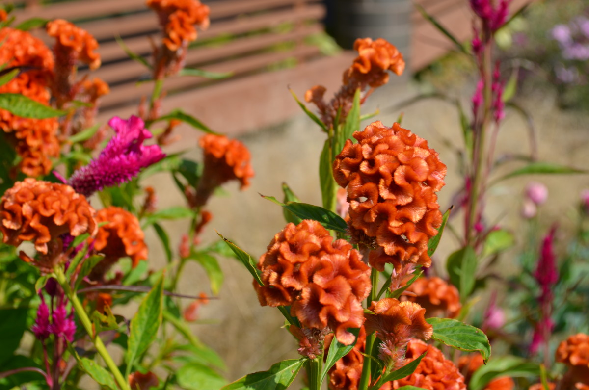 This is the brain celosia flower.  It is a very strange or interesting looking flower!  It feels like velvet to the touch, and looks fuzzy.  I have been seeing these more and more in bouquets as of late.  They make a neat cut flower.