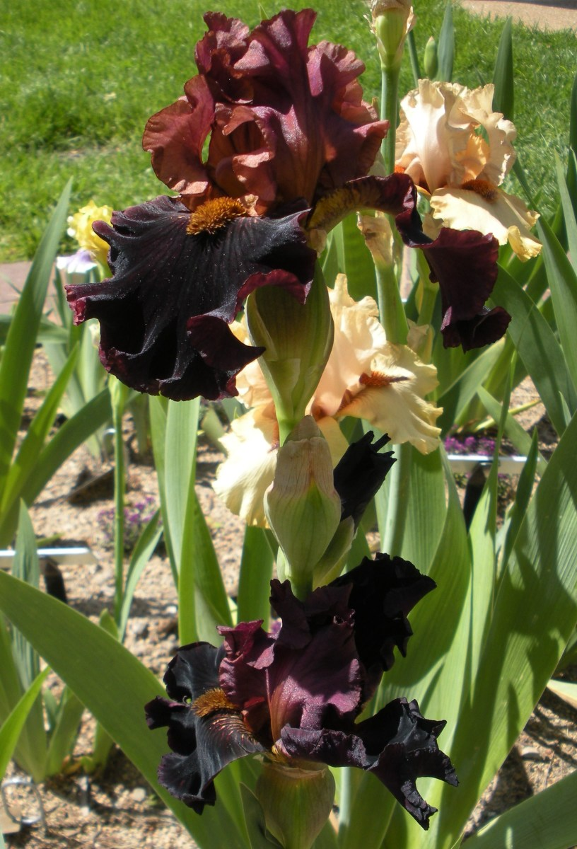 These beautiful bearded irises are a deep rust brown color.  They are so unique.