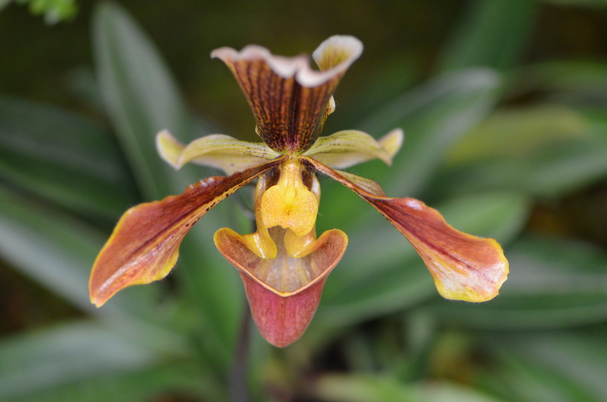 This one is a different kind of orchid, with such a unique design.  The browns and warm tones are just gorgeous.
