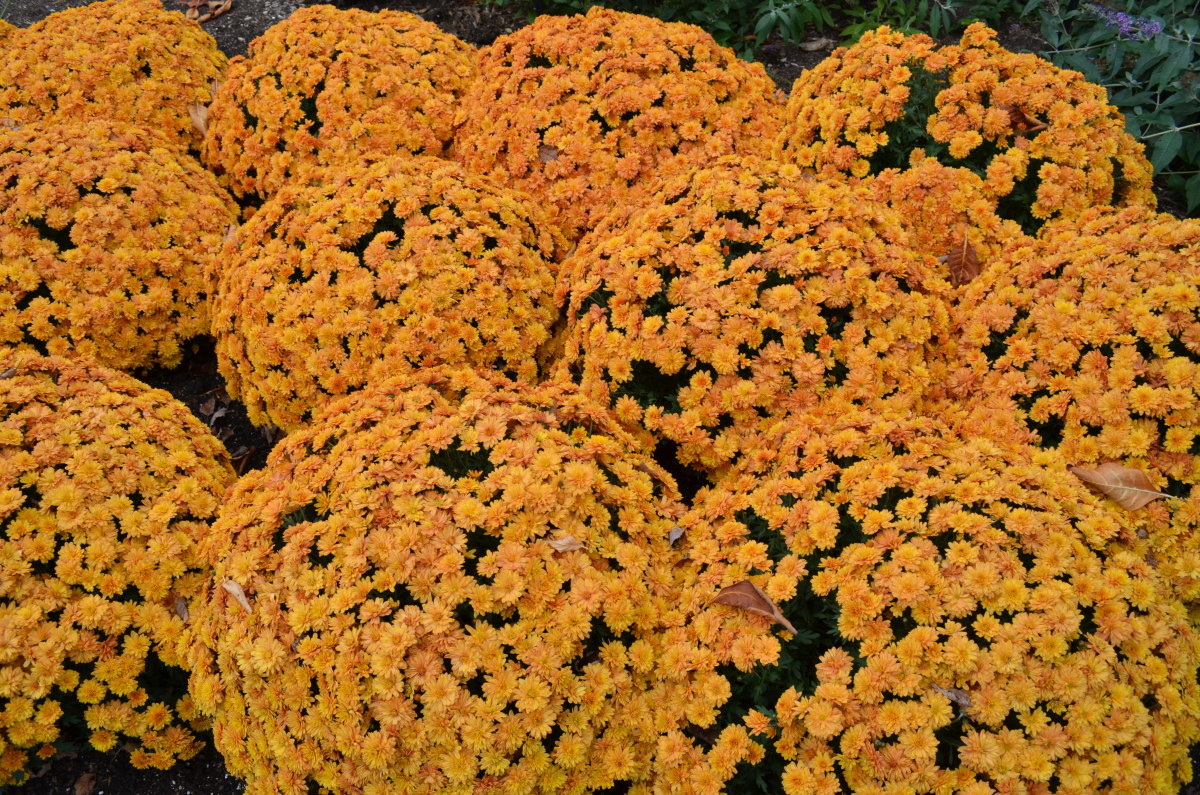 These flowers are favorites in the fall, at least in the United States.  I love these ones in particular as they are perfect fall colors, besides being fall bloomers.
