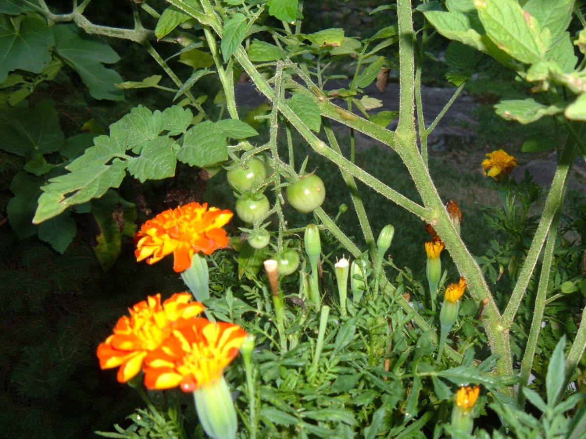 Companion Plants: Tomatoes and Marigolds