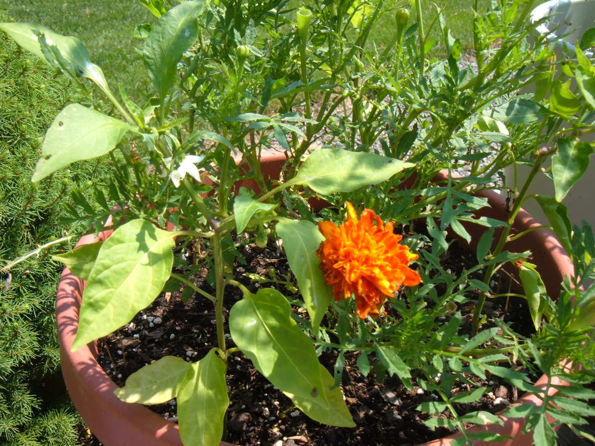 Companion Planting: Peppers and Marigolds