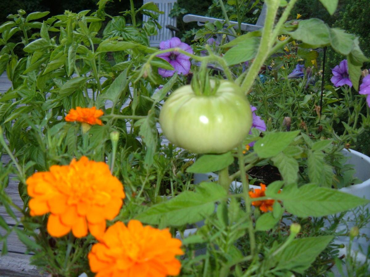 Companion Planting: Tomatoes, Marigolds and Basil