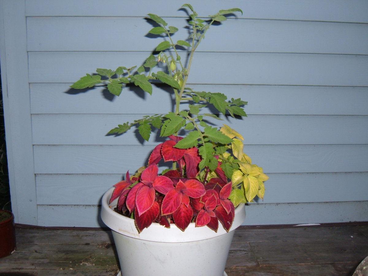 Companion Planting Tomatoes