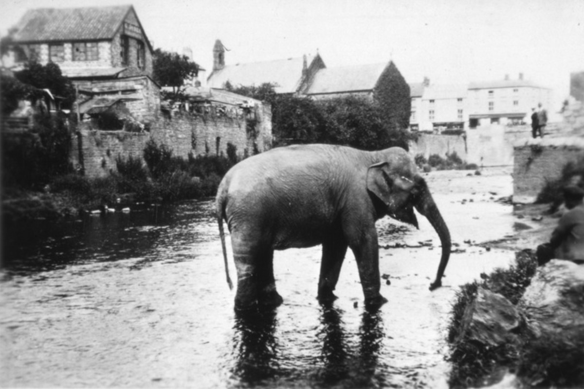 The 1930 Mop Fair at Monmouth was livened up after an elephant escaped.
