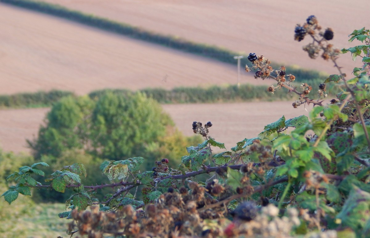 Blackberries, past their best on 30th September