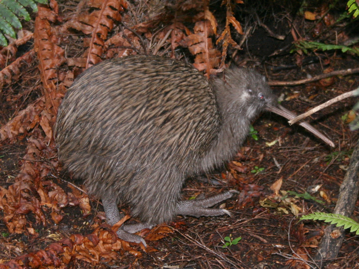 At first glance many people think that the Moa was simply the much larger cousin of the kiwi